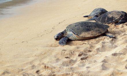 Οι χελώνες επέστρεψαν επίσημα μετά τον μεγαλύτερο καθαρισμό παραλίας της Ινδίας στην ιστορία