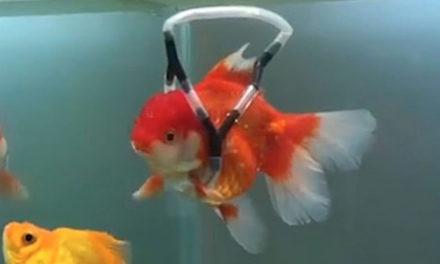 Έφτιαξε συσκευή επίπλευσης για το χρυσόψαρο του που δεν μπορούσε να κολυμπήσει!