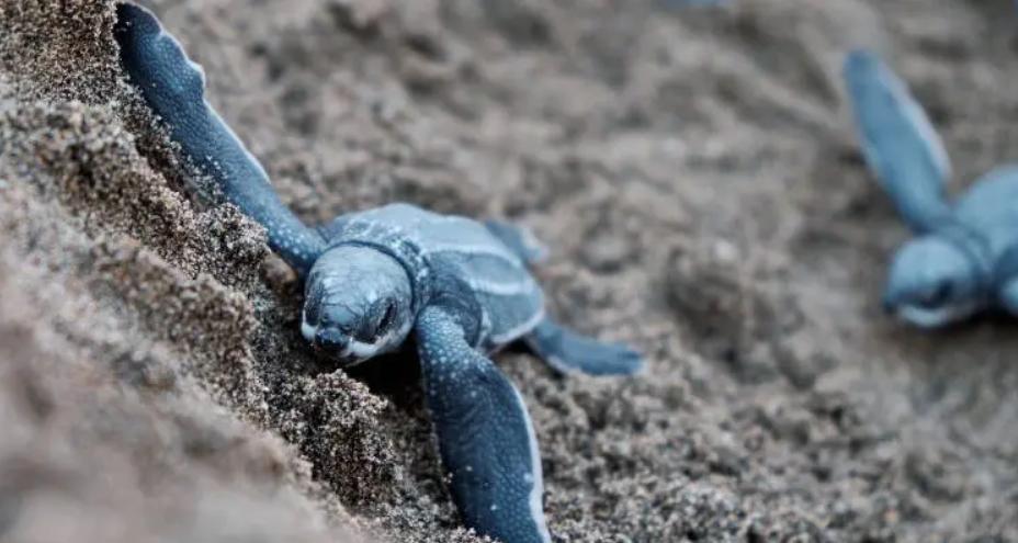 Επιστήμονες ανακάλυψαν ένα νέο τρόπο να σώζουν τις υπό εξαφάνιση θαλάσσιες χελώνες με τη χρήση GPS