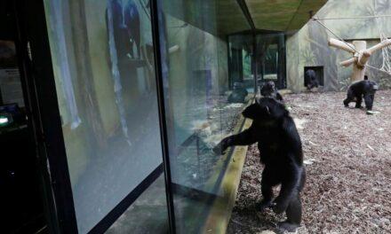 Χιμπατζήδες από δυο ζωολογικούς κήπους κάνουν Zoom μεταξύ τους κάθε μέρα