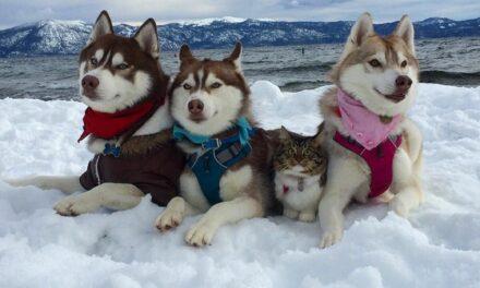 Μια ξεχωριστή φιλία: Σιβηρικά χάσκι «υιοθετούν» γάτα και την κάνουν μέλος της αγέλης