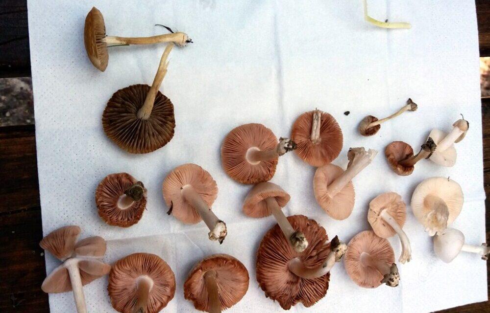 Μαθητές στα Γρεβενά εντόπισαν 12 νέα είδη άγριων μανιταριών